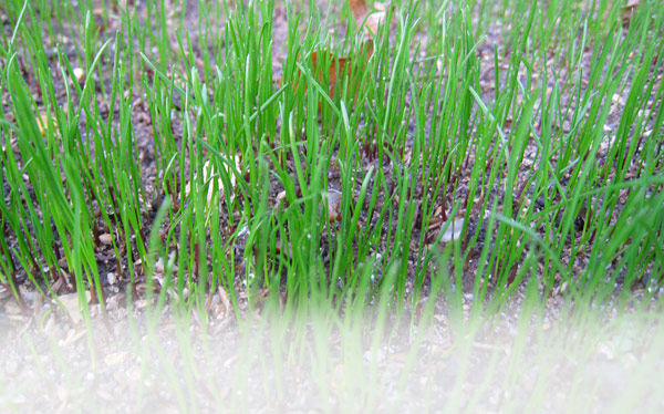 grass-growing
